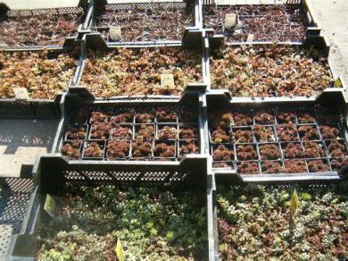 Sedum Sedumpflanzen Zur Dachbegrunung Pflanzen